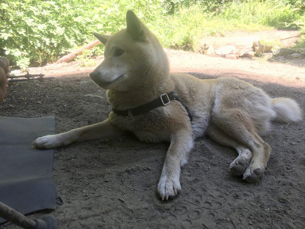 Kora, Steel's doggy hiking partner, enjoying a shady lunch break in Northern California.